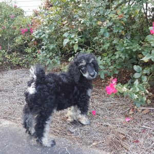 Phantom, Tricolor, Sable, and Brindle Poodles – Heart Song Standard