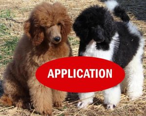 Buying A Puppy Heart Song Standard Poodles