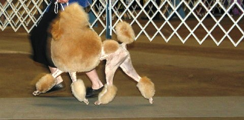 Conformation – What to look for in a standard poodle.
