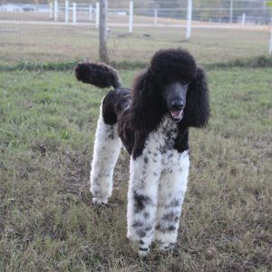 Grooming The Standard Poodle Heart Song Standard Poodles