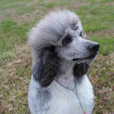 Heart Song Standard Poodles Standard Poodle Puppies For Sale