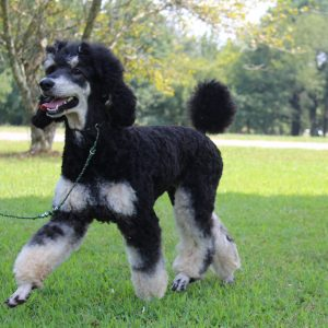 Phantom Tricolor Sable And Brindle Poodles Heart Song