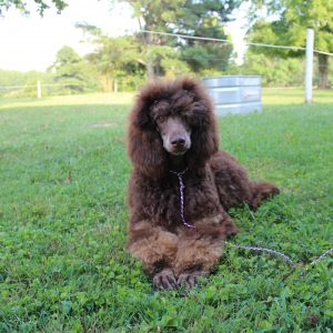 Our Girls Heart Song Standard Poodles