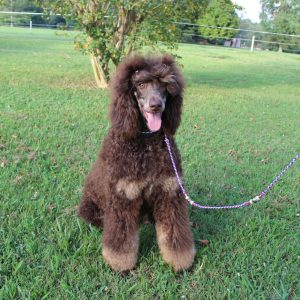 Phantom, Tricolor, Sable, and Brindle Poodles – Heart Song