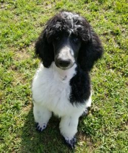 Image result for Black and White Party Poodle standard